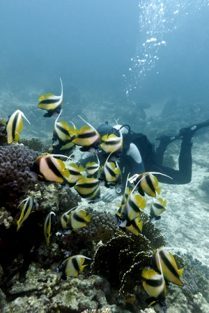 coral reef with buterflyfishes and diver in red sea photo