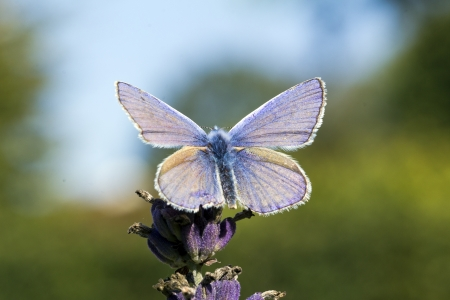 blue small butterfly on the flower of lavender in the garden Stock Photo