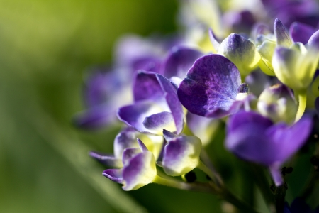 bigleaf hydrangea: violet flowers of hortensia in the garden on green background - macro