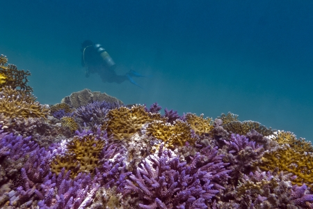 coral reef with violet hard corals, yellow fire corals and diver in red sea photo
