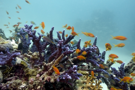 coral reef with blue hard coral and exotic fishes Anthian on the bottom of red sea photo