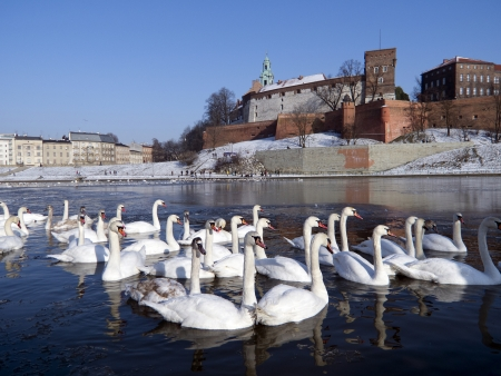 herd of swams on the visula river with wawel castel in the winter