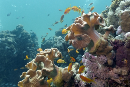 coral reef with soft corals and exotic fishes Anthias on the bottom of red sea photo