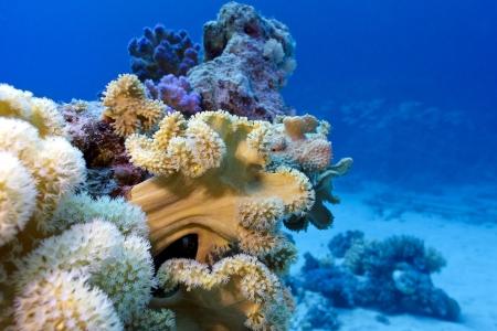 to fish: arrecife coralino con el coral suave grande en el fondo del mar rojo