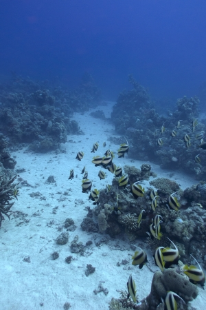 stony corals: coral reef with shoal of butterfyfishes on the bottom of red sea Stock Photo