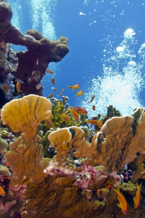 coral reef with great fire coral and exoyic fishes anthias in red sea Stock Photo