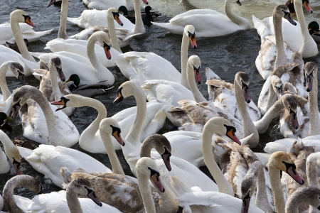 herd of swans flying in Vistula river in cracow in winter photo