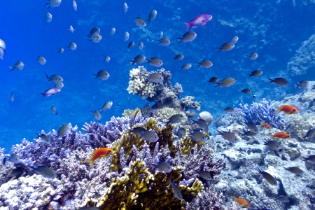 coral reef on the bottom of red sea  with hard, fire corals and exotic fishes Stock Photo - 16259300