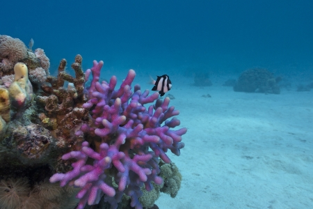 coral reef with violet hood coral end exotic fish on the bottom of red sea photo