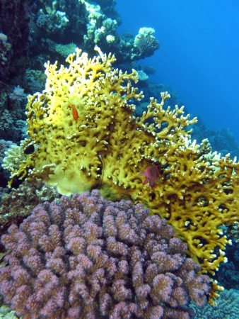 madreporaria: coral reef with fire and corals on the bottom of red sea Stock Photo