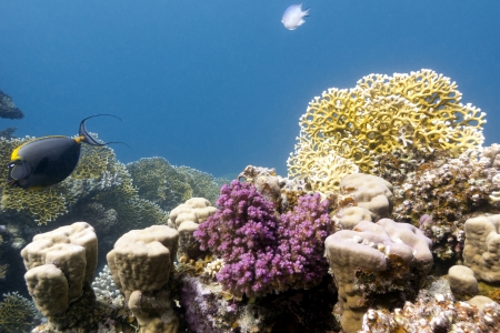 coral reef with hard and fire corals on the bottom of red sea Stock Photo - 16693339