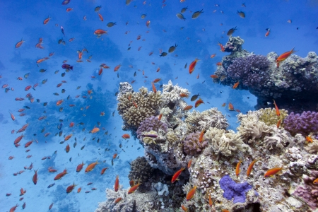 anthias fish: coral reef with soft and hard corals on the bottom of red sea  in egypt