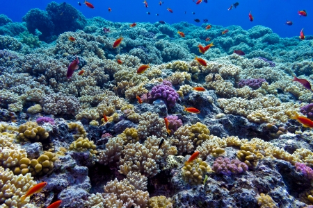 colorful coral reef with hard corals on the bottom of red sea - underwater photo photo