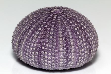 isolated skeleton of sea shell violet echinoidea - close-up