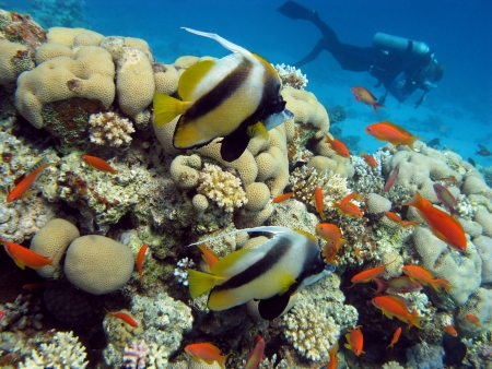 coral reef with exotic fishes and diver on the bottom of red sea photo