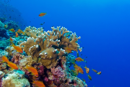 coral reef with fire coral and exotic fishes anthias Stock Photo - 17109454