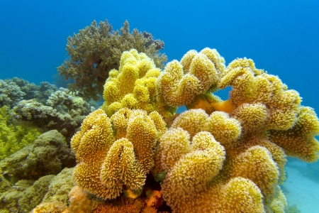 coral reef with great yellow soft coral at the bottom of red sea Stock Photo - 17195071