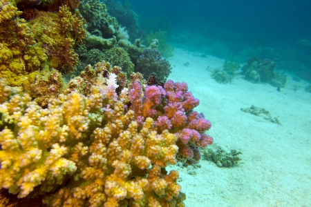 view of coral reef with hard corals at the bottom of red sea Stock Photo - 17195069