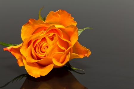 single flower of yellow rose isolated on dark background