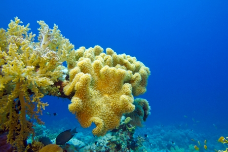 coral reef with great soft coral on the bottom of red sea  Stock Photo - 17299235