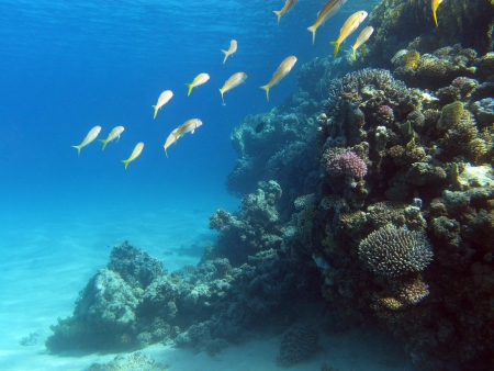coral reef with shoal of goatfishes on the bottom of red sea Stock Photo - 17299238