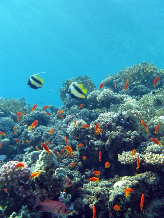 coral reef with hard and fire coral and exotic fishes at the botto of tropical sea photo