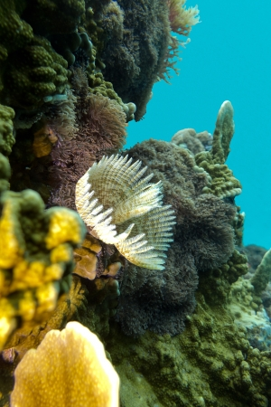 coral reef with feather duster worms at the bottom of tropical sea Stock Photo - 17333551