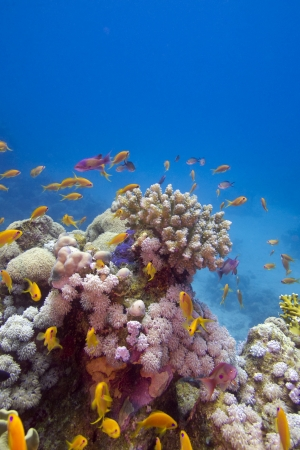 Colorful coral reef with exotic fishes at the bottom of red sea photo