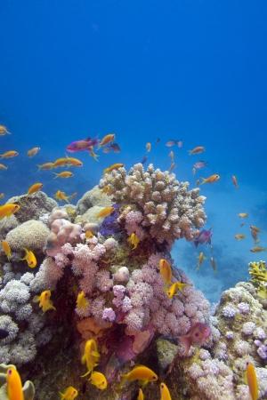 Recife coral colorido com peixes ex�ticos no fundo do mar vermelho