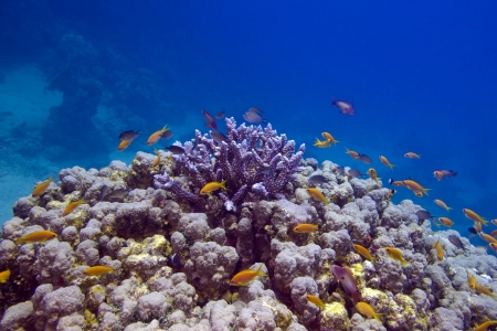 Colorful coral reef with exotic fishes at the bottom of red sea Stock Photo - 17370398