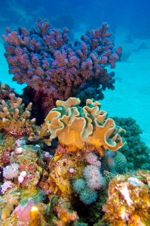 coral reef with great hard and soft corals at the bottom of tropical sea Stock Photo - 17370401