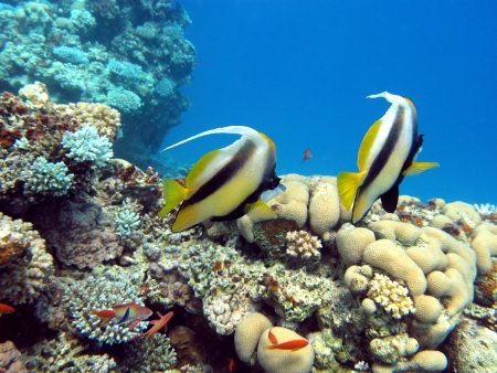 coral reef with couple of bannerfishes at the bottom of tropical sea Stock Photo - 17370400