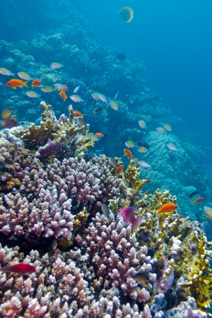 colorful coral reef with exotic fishes at the bottom of tropical sea photo