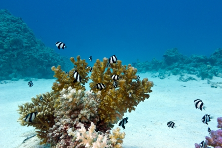 damsel: coral reef with hard coral and exotic fishes white-tailed damselfish  at the bottom of tropical sea Stock Photo