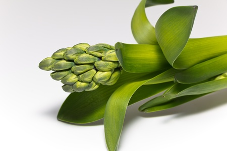 isolated green buds of flower of hyacinth on white background Stock Photo