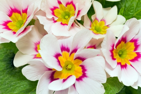 a lot of spring  flowers of colorful primula