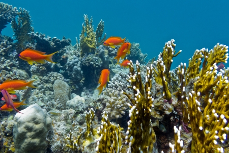 coral reef with hard corals and exotic fishes anthias at the bottom of tropical sea Stock Photo - 18007420