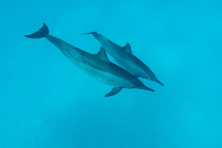couple of dolphins in tropical sea photo