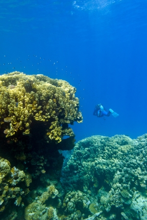 hard coral: coral reef with great yellow hard coral and diver at the bottom of tropical sea