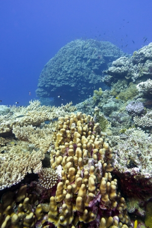 coral reef with great hard corals at the bottom of tropical sea Stock Photo - 18277478
