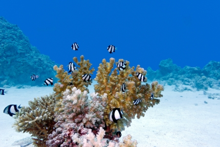 coral reef with hard coral and exotic fishes at the bottom of tropical sea photo
