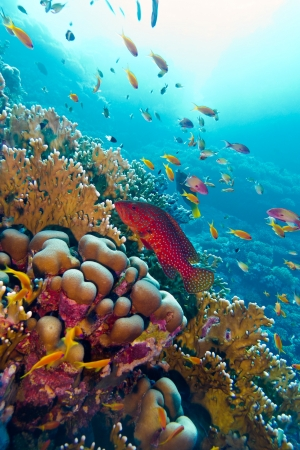 coral reef with red exotic fish cephalopholis at the bottom of tropical sea Stock Photo - 18484088