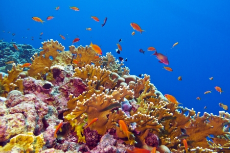 hard coral: coral reef with fire coral and exotic fishes at the bottom of tropical sea Stock Photo