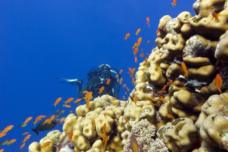 coral reef with porites corals, exotic fishes anthias and girl diver at the bottom of tropical sea Stock Photo - 18587985