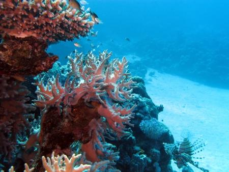 pristine coral reef: barriera corallina con coralli duri sul fondo del mare tropicale