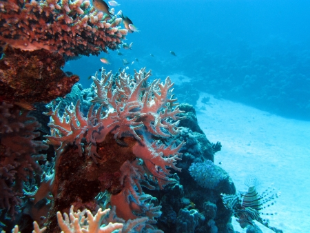 pristine corals: coral reef with hard corals at the bottom of tropical sea