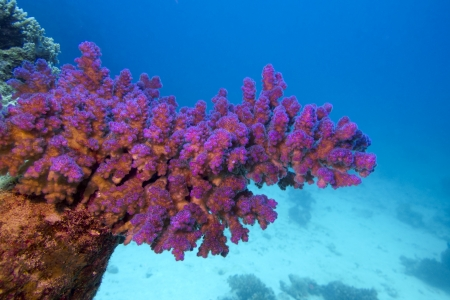 coral reef with pink pocillopora coral at the bottom of tropical sea Stock Photo - 18588205
