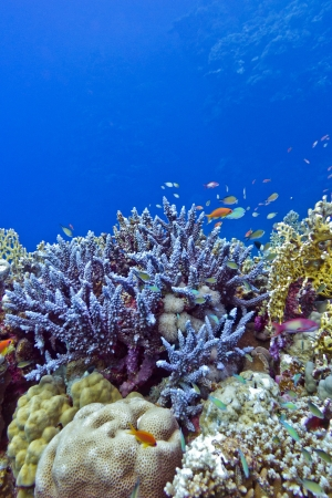 coral reef with  blue hard corals at the bottom of tropical sea