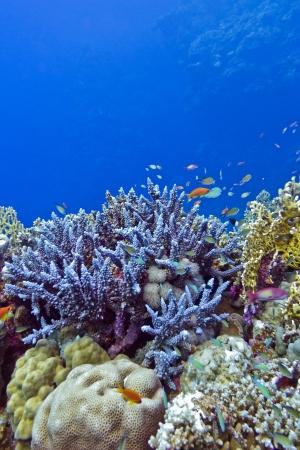 recife de coral com corais duros azul na parte inferior de mar tropical
