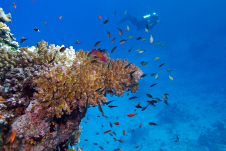 stony coral: coral reef with stony coral and diver at the bottom of tropical sea